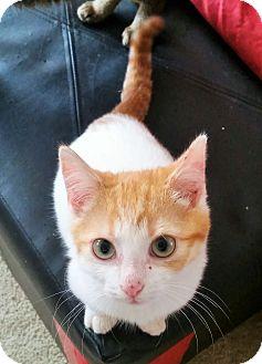Domestic Shorthair Kitten for adoption in Cary, North Carolina - Caleb