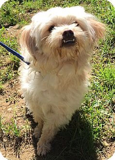 Maltese Mix Dog for adoption in Bloomfield, Connecticut - Montville