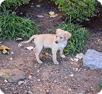 Labrador Retriever/Feist Mix Puppy for adoption in Ijamsville, Maryland - Oslo