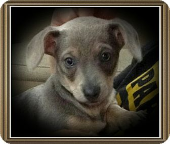 Dachshund/Chihuahua Mix Puppy for adoption in Richmond, California - Penguin