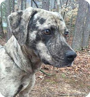 Catahoula Leopard Dog/Australian Shepherd Mix Dog for adoption in Allentown, Pennsylvania - Patches