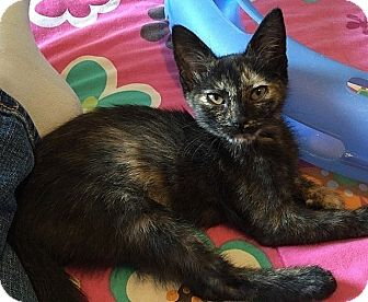 Domestic Shorthair Kitten for adoption in Tampa, Florida - Ember