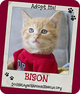 Domestic Shorthair Kitten for adoption in Lincoln, Nebraska - BISON