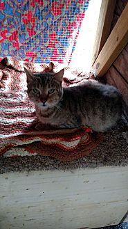 Domestic Shorthair Cat for adoption in Benton, Pennsylvania - Tiger