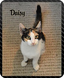 Calico Kitten for adoption in Sherman Oaks, California - Daisy