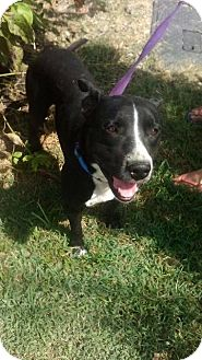 Bull Terrier/Labrador Retriever Mix Dog for adoption in Shelbyville, Tennessee - Diesel