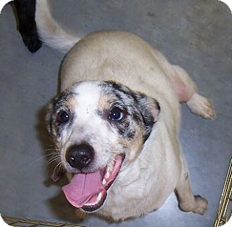 Catahoula Leopard Dog Mix Dog for adoption in Lafayette, Louisiana - Shannon