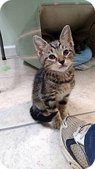 Domestic Shorthair Kitten for adoption in Austintown, Ohio - Remi
