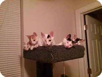 Calico Kitten for adoption in Philadelphia, Pennsylvania - Jazmine