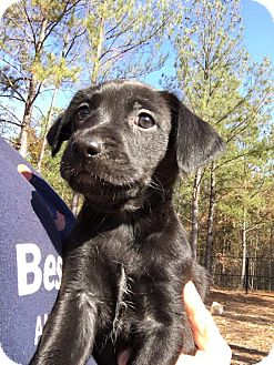 Cattle Dog/Hound (Unknown Type) Mix Puppy for adoption in Providence, Rhode Island - Ivy