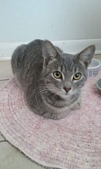 Domestic Shorthair Cat for adoption in Virginia Beach, Virginia - Strawberry