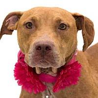 Adopt A Pet :: Isla - Tampa, FL