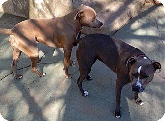 Pit Bull Terrier Mix Dog for adoption in Ogden, Utah - Nix