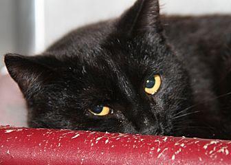 Domestic Shorthair Cat for adoption in Marietta, Ohio - Hans (Neutered)
