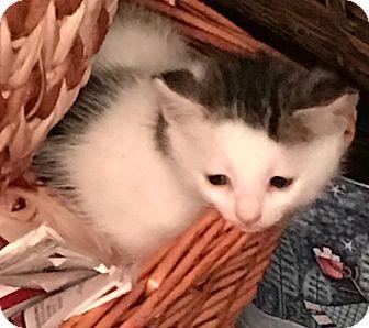 Domestic Shorthair Kitten for adoption in Dalton, Georgia - Howard