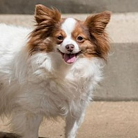Papillon Dog for adoption in Alexandria, Kentucky - Pudgy