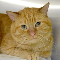 Domestic Shorthair/Domestic Shorthair Mix Cat for adoption in Baltimore, Maryland - Tac