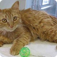 Domestic Mediumhair Cat for adoption in Bonita, California - HAZEL