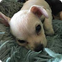 Adopt A Pet :: Liberty - Allen, TX