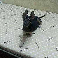 Adopt A Pet :: Stellina Tripod Egyptian Sheppy - NYC, NY