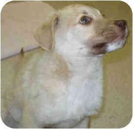 Labrador Retriever Mix Puppy for adoption in San Clemente, California - HASHBROWN