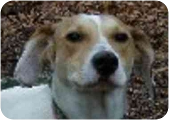 Beagle/Basset Hound Mix Dog for adoption in Eatontown, New Jersey - Cindy