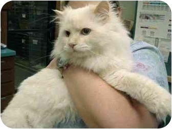 Himalayan Cat for adoption in Mt. Prospect, Illinois - Sno-Babie