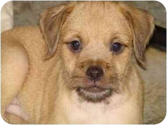 Pug/Terrier (Unknown Type, Small) Mix Puppy for adoption in Beavercreek, Ohio - SHAGGY