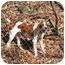 Photo 1 - Hound (Unknown Type)/Spaniel (Unknown Type) Mix Dog for adoption in Ellijay, Georgia - Nick