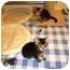 Photo 2 - Domestic Shorthair Kitten for adoption in Irvine, California - Kahlua