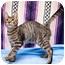 Photo 3 - Domestic Shorthair Cat for adoption in Houston, Texas - Jefferson