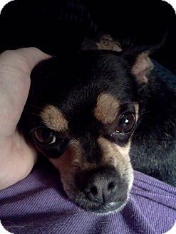 Chihuahua Mix Dog for adoption in Spruce Pine, North Carolina - Sophie