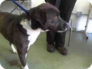 Akita Mix Dog for adoption in Las Vegas, Nevada - Suzannah -N