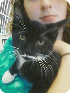Domestic Shorthair Kitten for adoption in Riverhead, New York - Costello