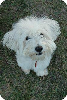 Maltese/Poodle (Miniature) Mix Dog for adoption in Salt Lake City, Utah - CHARLIE