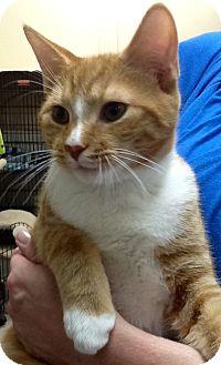 Domestic Shorthair Kitten for adoption in Webster, Massachusetts - Ducky