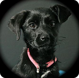 Terrier (Unknown Type, Medium) Mix Puppy for adoption in Lufkin, Texas - Brittany