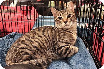 Domestic Shorthair Cat for adoption in Smyrna, Georgia - Tarzan