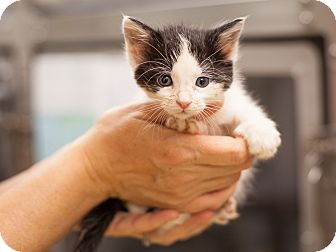 Domestic Shorthair Kitten for adoption in Dallas, Texas - Dominick