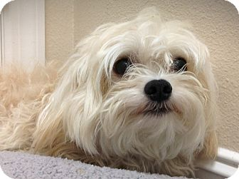 Maltese Puppy for adoption in Tavares, Florida - Razz