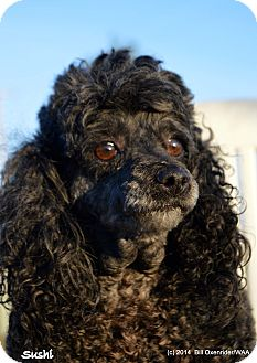Miniature Poodle Dog for adoption in Patterson, California - Sushi