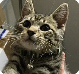 American Shorthair Kitten for adoption in Miami, Florida - Reggie