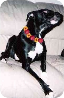 Labrador Retriever Mix Dog for adoption in Haverhill, Massachusetts - Sky Blue
