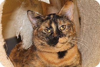 Domestic Shorthair Cat for adoption in Pittsburg, Kansas - Pixie