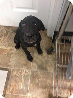 Labrador Retriever Mix Puppy for adoption in Darlington, South Carolina - Balthazar
