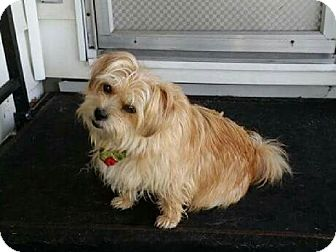Lhasa Apso/Terrier (Unknown Type, Small) Mix Dog for adoption in Peterborough, Ontario - Bella