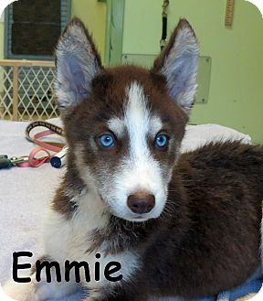 Husky Puppy for adoption in Warren, Pennsylvania - Emmie