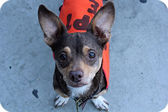 Rat Terrier/Chihuahua Mix Dog for adoption in Los Angeles, California - Fredrick