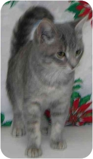 Domestic Shorthair Cat for adoption in Brenham, Texas - Lilly
