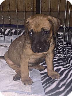 Boxer/Mastiff Mix Puppy for adoption in Atlanta, Georgia - Buster